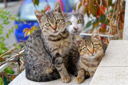 pelage-du-chat